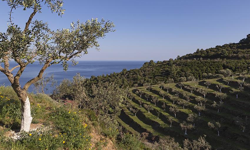 gorgona olive