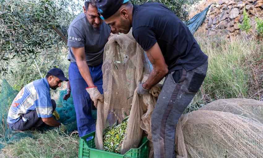 raccolta olive gorgona