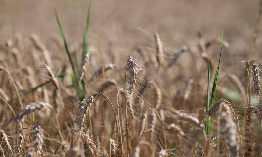coltivazione khorasan