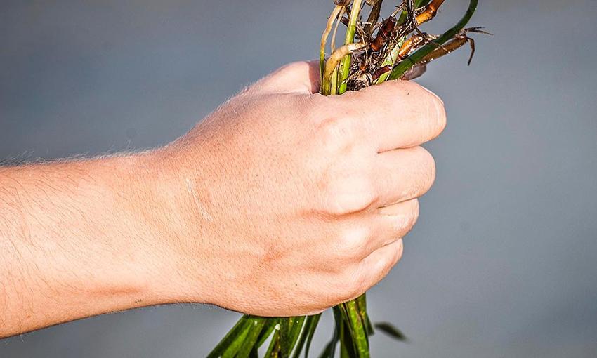 coltivazione riso di mare