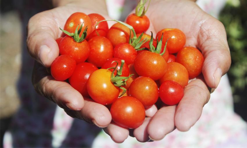 mani femminili pomodori