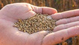 filiera italiana quinoa
