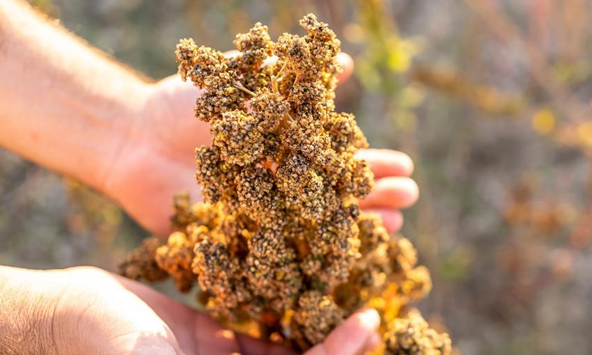 quin quinoa