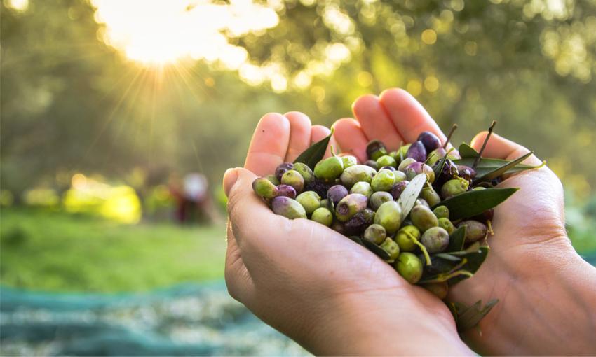 olive agricoltura di precisione