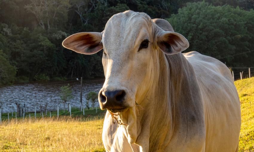 allevamento bovino brasile