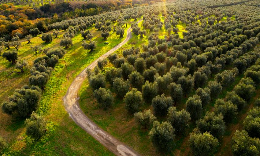 coltivaizone olive